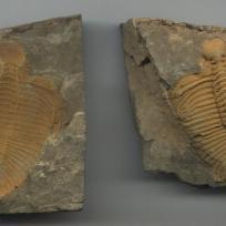 Coronocephalus trilobite