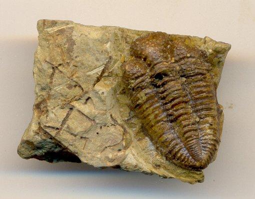 Encrinurus trilobite