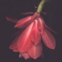 Epicactus flower