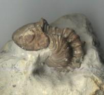 Kainops trilobite