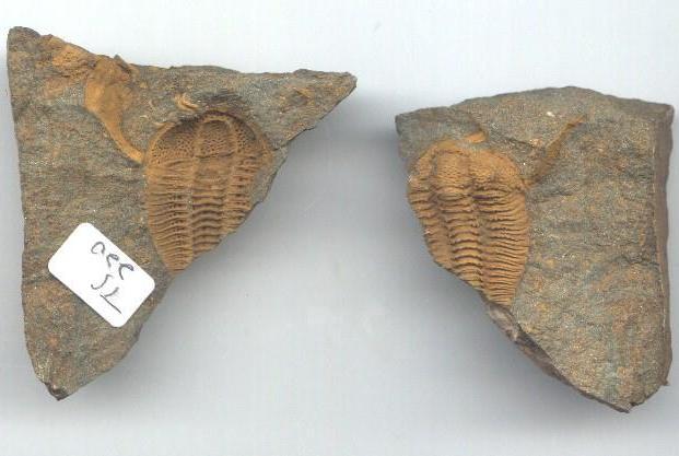 Solenopleuropsis trilobite
