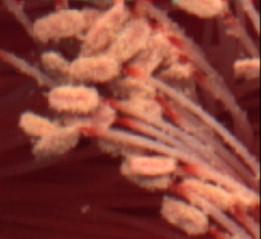 Epicactus stamens